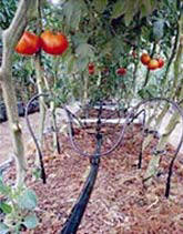 DIY drip irrigation for tomato plants