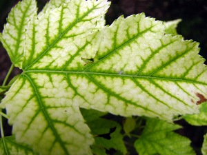 Yellowing leaves may mean iron deficiency