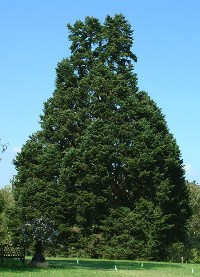 Conifer tree with multiple main stems or leaders