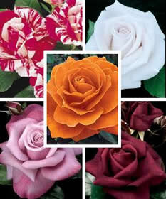 collage of rose blooms
